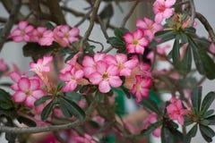 De roze Adenium-bloemen met groen doorbladert Stock Foto's