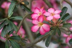 De roze Adenium-bloemen met groen doorbladert Royalty-vrije Stock Afbeeldingen