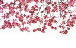 De roze Banner van de Kornoeljeboom met Takken stock foto