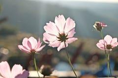 De roze bloei van de kosmosbloem Stock Foto's