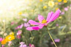 De roze bloei van Kosmosbloemen in het achtertuintje Stock Fotografie