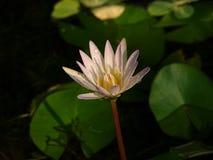 De roze bloei van lotusbloembloemen en heeft waterdruppeltjes stock foto
