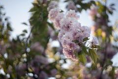 De roze bloeiende Japanse bloesem van kersensakura Royalty-vrije Stock Fotografie