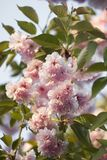 De roze bloeiende Japanse bloesem van kersensakura Stock Foto's