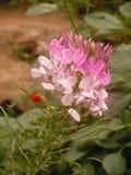 De roze bloem Stock Afbeeldingen