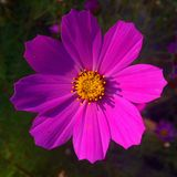 De roze bloem Stock Foto's