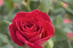 De roze bloem Royalty-vrije Stock Foto