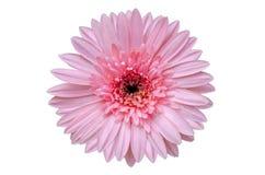 De roze bloem isoleert Witte achtergrond royalty-vrije stock foto's