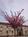De roze bloem op boom vertakt zich bloesems stock afbeeldingen