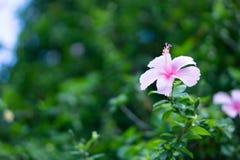De roze bloem van Chaba of van de Hibiscus Royalty-vrije Stock Foto's