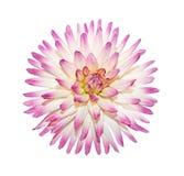 De roze Bloem van de Dahlia Stock Afbeeldingen