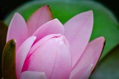 De roze bloem van de lotusbloemknop Royalty-vrije Stock Afbeelding