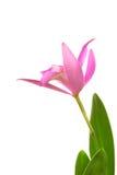 De roze Bloem van de Orchidee Royalty-vrije Stock Foto