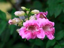 De roze bloem van de Trompetwijnstok Royalty-vrije Stock Fotografie