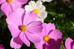 De roze bloem van de Zwavelkosmos Stock Foto