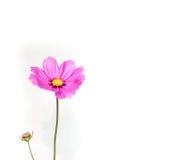 De roze bloem van de Zwavelkosmos op witte achtergrond royalty-vrije stock afbeeldingen