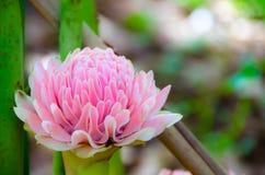 De roze bloem van etlingeraelatior royalty-vrije stock foto