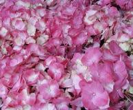 De roze bloem van Hydrangea hortensiahortensia in kleurenvariaties die zich van lichtrose aan fuchsiakleurig kleur uitstrekken stock afbeeldingen