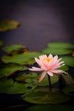 De roze Bloem van Lotus Royalty-vrije Stock Afbeeldingen