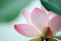 De roze bloem van Lotus Stock Afbeelding