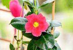 De roze bloem van Mandevilla of Dipladenia-, groene struik doorbladert rocktrump Royalty-vrije Stock Foto