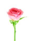 De roze bloem van nam op een groene steel toe Stock Foto's