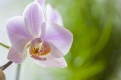 De roze bloem van Phalaenopsis of van de Orchidee royalty-vrije stock foto's