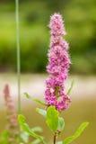 De roze bloem van Spiraeadouglasii op het roze gebied van het familiewild Stock Fotografie