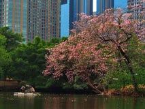 De roze bloem van Thailand Sakura Royalty-vrije Stock Foto's