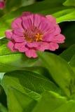 De roze bloem van Zinnia Royalty-vrije Stock Afbeelding