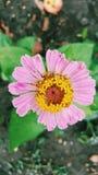 De roze bloem van Zinnia Stock Foto's