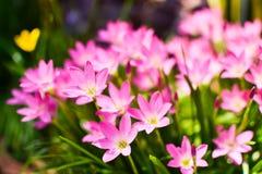 De roze bloem Zephyranthas SP van de regenlelie Stock Afbeeldingen