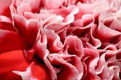 De roze bloemblaadjes van de pioenbloem Stock Afbeeldingen
