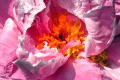 De roze bloemblaadjes van de Pioenbloem met het gele centrum van de centrummeeldraad Royalty-vrije Stock Foto