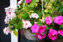 De roze bloemen in de bloempot groeien in de zomer stock fotografie