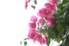 De roze bloemen in de dag met close-up en de achtergrond zijn witte hemel royalty-vrije stock foto