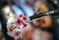 De roze Bloemen die van de Kers in maart maand bloeien stock afbeeldingen
