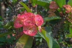 De roze bloemen die van wolfsmelkmilii, de doorn van Christus, Poi sian bloemen bloeien Royalty-vrije Stock Foto