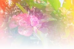 De roze bloemen die van wolfsmelkmilii, de doorn van Christus, Poi sian bloemen bloeien Stock Foto