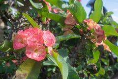 De roze bloemen die van wolfsmelkmilii, de doorn van Christus, Poi sian bloemen bloeien Royalty-vrije Stock Afbeeldingen