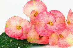 De roze bloemen die van wolfsmelkmilii, de doorn van Christus, Poi sian stroom bloeien Royalty-vrije Stock Fotografie