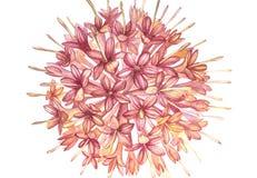 De roze bloemen Gambier haalt de botanische illustraties van de installatieswaterverf vector illustratie