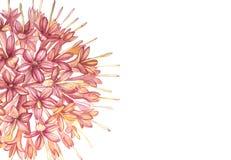 De roze bloemen Gambier haalt de botanische illustraties van de installatieswaterverf royalty-vrije illustratie
