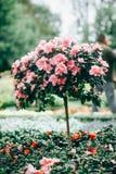 De roze bloemen van de Azalea Bloeiende Roze Rododendron royalty-vrije stock fotografie