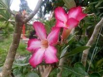 De roze bloemen van de Azalea Stock Afbeelding