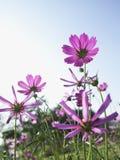 De roze Bloemen van de Kosmos stock afbeeldingen