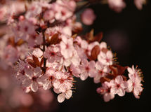 De roze Bloemen van de Lente Stock Foto's