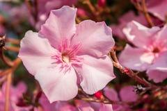 De roze bloemen van de oleander stock fotografie