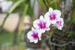 De roze bloemen van de Orchidee Royalty-vrije Stock Foto's
