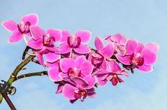 De roze bloemen van de orchidee dichte omhooggaande tak, op blauwe hemel Stock Foto's